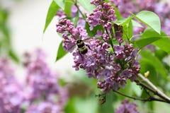 Lila y abeja Lilas o jeringuilla y abeja Flores púrpuras coloridos de las lilas con las hojas verdes Modelo floral Texto del fond Imagenes de archivo