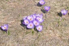 Lila y azafrán blanca en campo abierto Imágenes de archivo libres de regalías