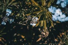 Lila y flores azules del erysimum bicolor en naturaleza Fotografía de archivo