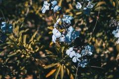 Lila y flores azules del erysimum bicolor en naturaleza Imagenes de archivo