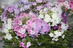 Lila y flores blancas del polemonio foto de archivo
