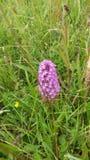 Lilablomma bland gräset arkivfoton