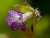 Lilablomma med droppar Arkivbild