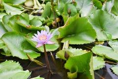 Lilablomma och sidor på en parkera Arkivfoton