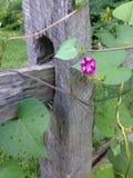 Lilablomma på staketet Royaltyfri Fotografi