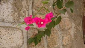 Lilablomma på stenväggen arkivfoto