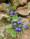 Lilablomma på tegelstenväggen Royaltyfri Foto
