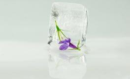 Lilablomma som fångas i iskub Royaltyfri Foto