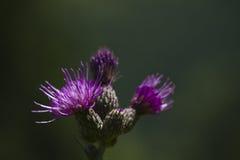 Lilablomma, Vosges, Frankrike Arkivfoto