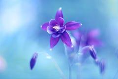 Lilablommaaquilegia på en blå bakgrund Härlig blomma med pastellfärgade skuggor slapp fokus Långt exponeringsfoto som tas i en tu Fotografering för Bildbyråer