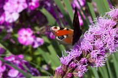 Lilablommabakgrund med fjärilspåfågelögat Royaltyfria Foton