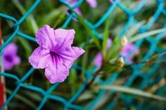 Lilablommor eller den Ruellia tuberosaen Linn som poppar fröskidan, Toi ting Arkivfoto