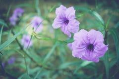 Lilablommor eller den Ruellia tuberosaen Linn, Toi ting (det thai namnet) Royaltyfria Foton