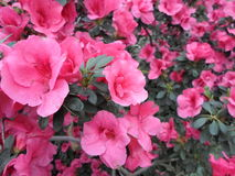 Lilablommor, lilablommor blomstra fjädertree Steg blommor, rosa blommor, rosa azaleor Arkivfoto