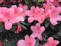 Lilablommor, lilablommor blomstra fjädertree Steg blommor, rosa blommor, rosa azaleor Arkivbilder