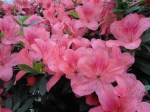 Lilablommor, lilablommor blomstra fjädertree Steg blommor, rosa blommor, rosa azaleor Royaltyfri Foto