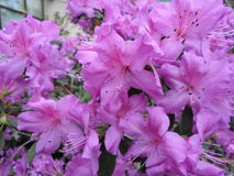 Lilablommor, lilablommor blomstra fjädertree Steg blommor, rosa blommor, rosa azaleor Royaltyfria Bilder
