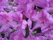 Lilablommor, lilablommor blomstra fjädertree Steg blommor, rosa blommor, rosa azaleor Royaltyfria Foton