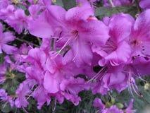 Lilablommor, lilablommor blomstra fjädertree Steg blommor, rosa blommor, rosa azaleor Arkivbild