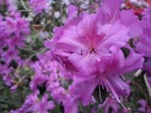 Lilablommor, lilablommor blomstra fjädertree Steg blommor, rosa blommor, rosa azaleor Royaltyfri Fotografi