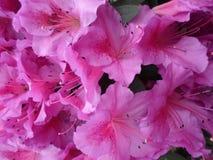 Lilablommor, lilablommor blomstra fjädertree Steg blommor, rosa blommor, rosa azaleor Royaltyfri Bild