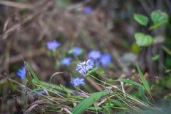 Lilablommor/lilan blommar på filial Arkivbilder