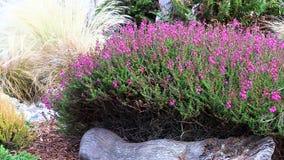 Lilablommor och grön växt med att svänga för gräs stock video