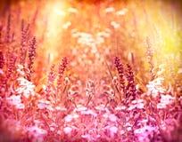Lilablommor som tänds av solstrålarna Arkivfoton