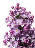 Lilac. Flower isolated on white Stock Photography