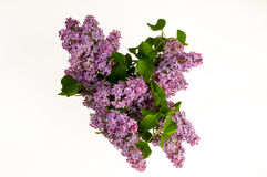 Lilac. Purple lilac on white background Royalty Free Stock Images
