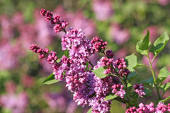 Free Lilac Royalty Free Stock Photography - 12411747