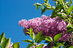 Lilac Royalty Free Stock Photos