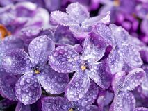 Lilac. Wet blue lilac closeup background Stock Photos