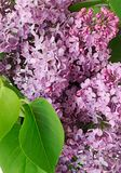 Lilac. Syringa vulgaris. Flower lilac and green leaf closeup Stock Images