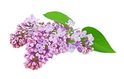 Lilac. Imagens de Stock