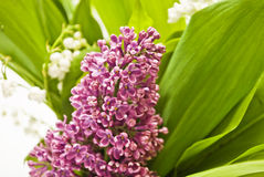 Lilac. Purpur lilac and green leaf Stock Image