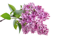 Lilac. On the white background royalty free stock photo