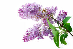 Lilac. Lilac flowers on a white background, isolated Stock Photos