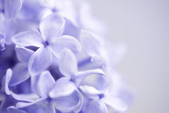 Lilac. Close-up of beautiful bunch of lilac royalty free stock photos