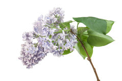 Lilac. Blossom isolated on white royalty free stock image