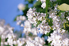 Lilac. White lilac on blur background Royalty Free Stock Image