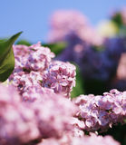 Lilac. Flowers lilac on blur background Stock Images