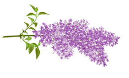 Lilac. The branch of a lilac made in a vector. Mesh
