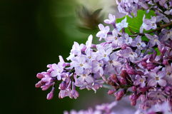 Lilac.  Royalty Free Stock Images