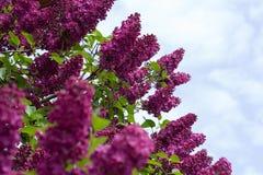 Lilac Foto de Stock Royalty Free