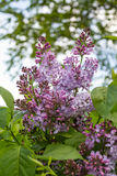 Lilac Royalty Free Stock Photo