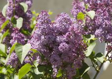 Lilac. Purple lilac flowers in spring day royalty free stock image