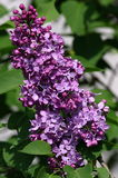 Lilac. Tree starting flowering in garden royalty free stock images