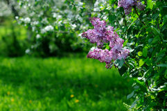 Lilac Fotos de Stock Royalty Free