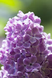 Lilac. Royalty Free Stock Photography
